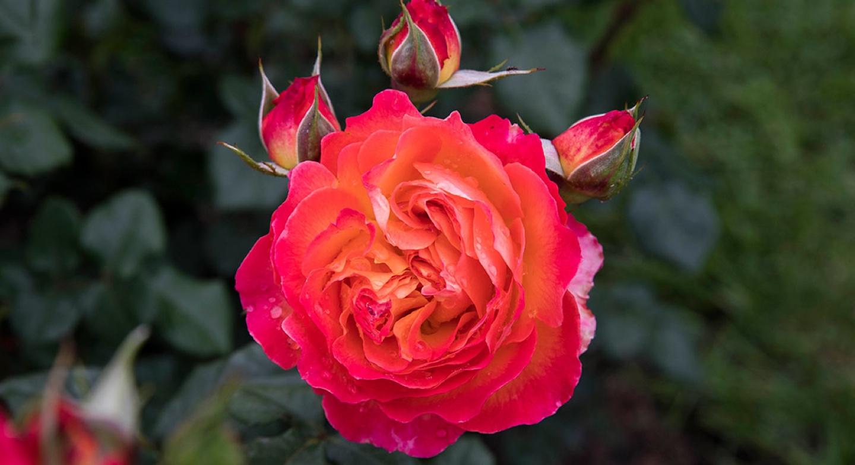 Concurs Internacional de Roses Noves